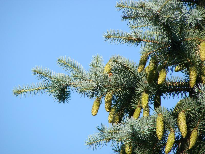 Spring branch of large coniferous Spruce tree, latin name Picea with long large hanging cones. Against blue skies with some clouds royalty free stock images
