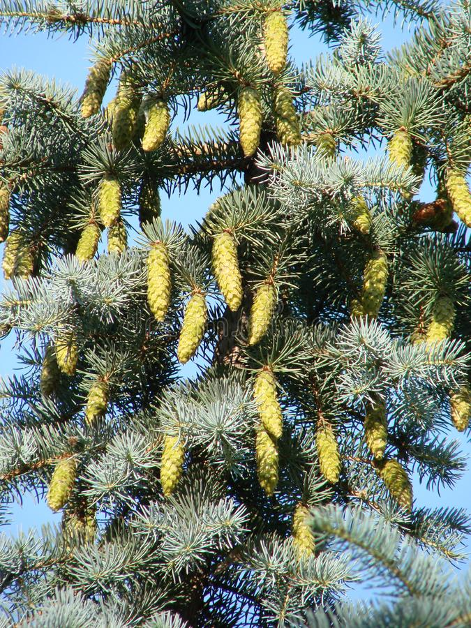 Spring branch of large coniferous Spruce tree, latin name Picea with long large hanging cones. Against blue skies with some clouds stock images