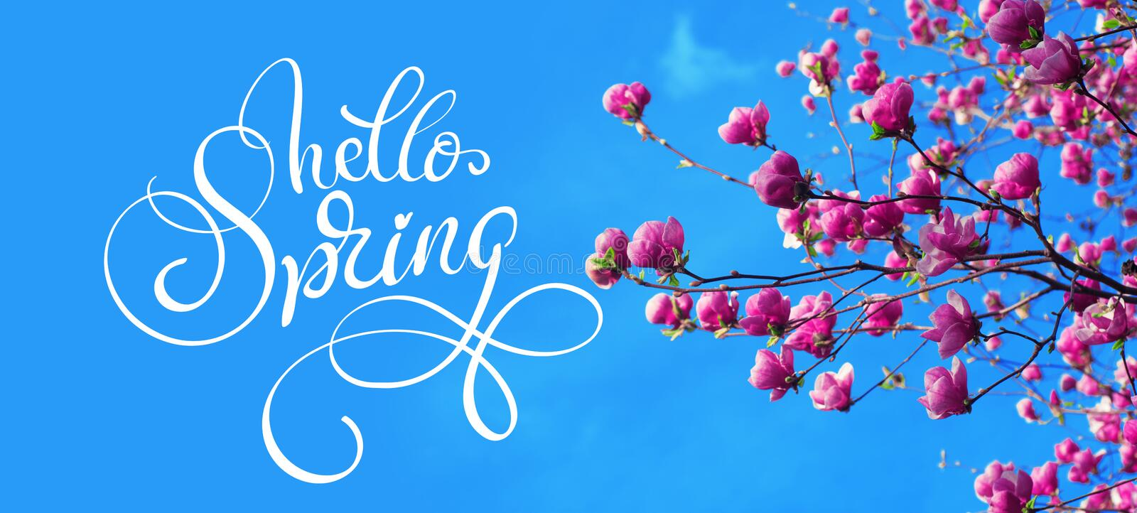 Spring branch of magnolia pink flowers of apple and text Hello Spring. Calligraphy lettering.  stock photography