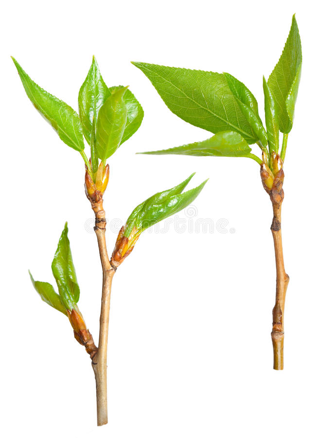 Spring branch of poplar royalty free stock photography