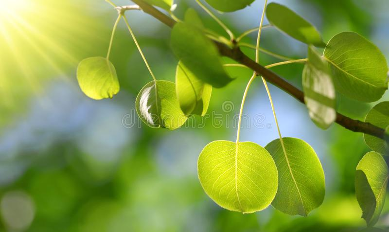 Spring branch of tree with fresh green leaves closeup. stock photos
