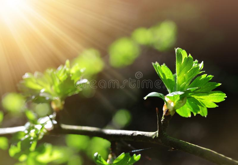 Spring branch tree with green leaves. royalty free stock image