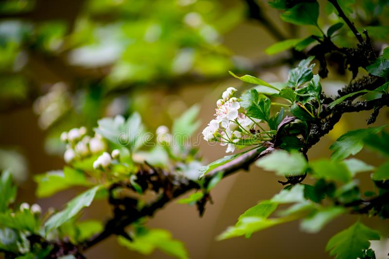 Spring branch with white flowers.  stock image