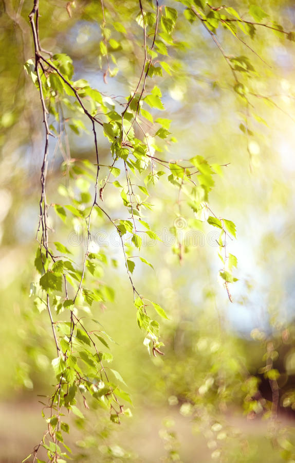 Spring branches of a birch lit with the sun. The spring branches of a birch lit with the sun stock photos