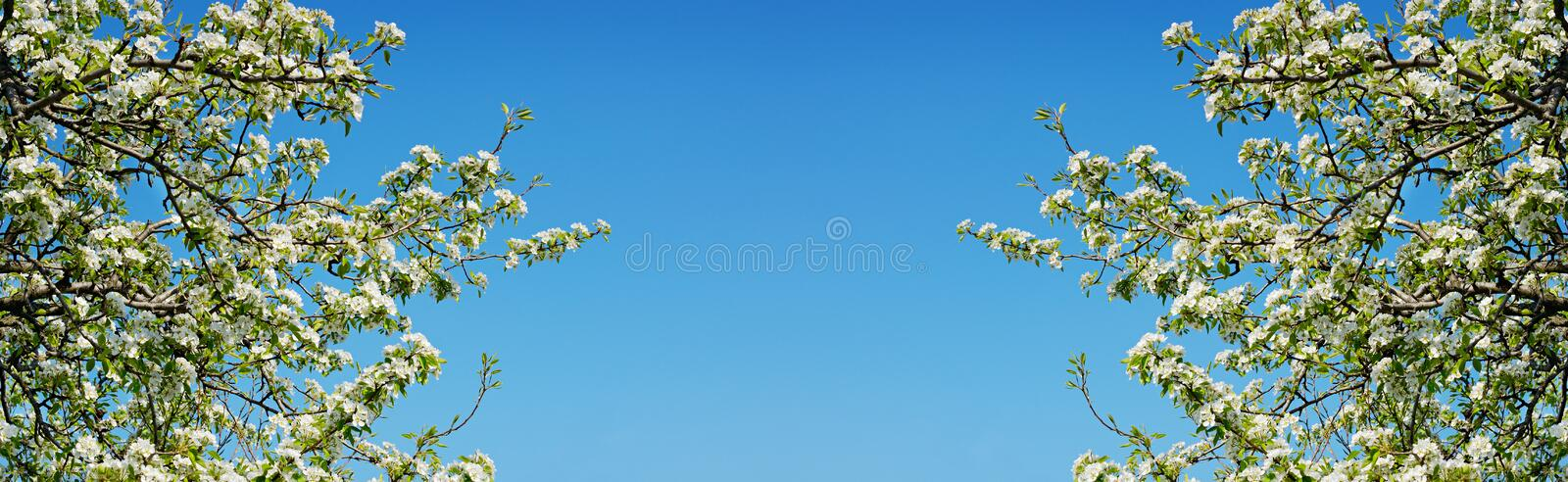Spring branches of cherry tree with white flowers and fresh green leaves stock photography