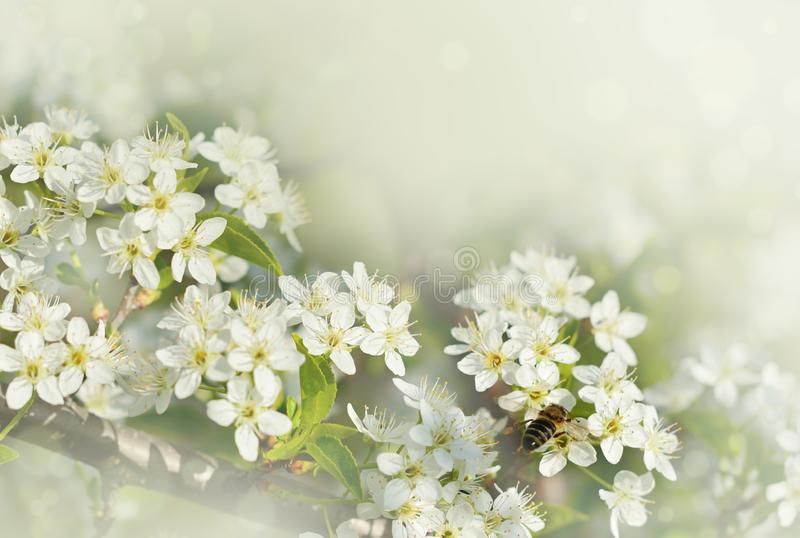 Spring branches of cherry tree with white flowers and fresh green leaves royalty free stock photos