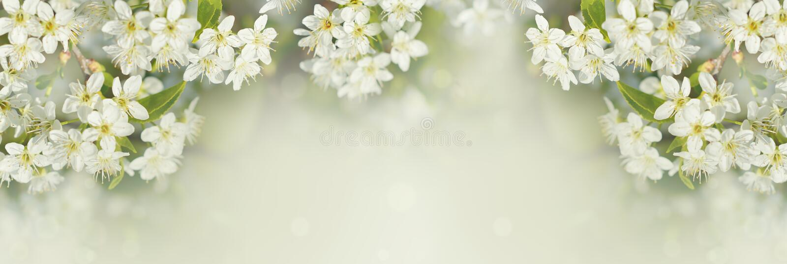 Spring branches of cherry tree with white flowers and fresh green leaves stock photo