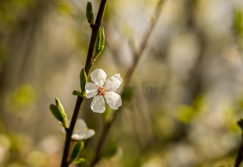 Spring brings the branches of the trees to flowering. Small delicate white flowers in the spring sun royalty free stock photo