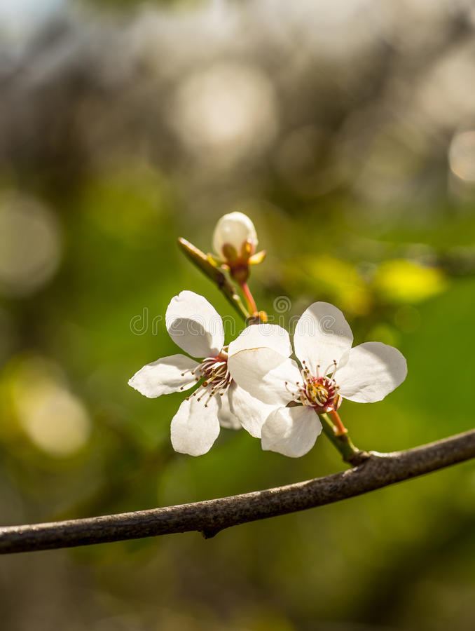 Spring brings the branches of the trees to flowering. Small delicate white flowers in the spring sun stock photography