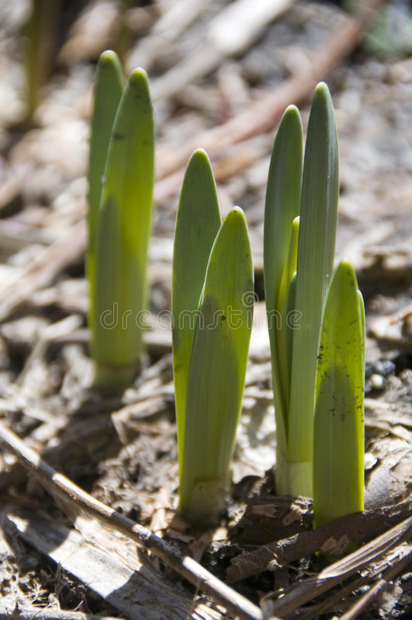 Free Spring Buds Royalty Free Stock Images - 13579049