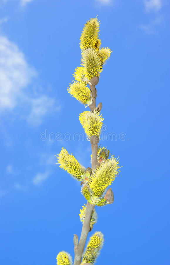 Download Spring Buds Stock Images - Image: 13843664