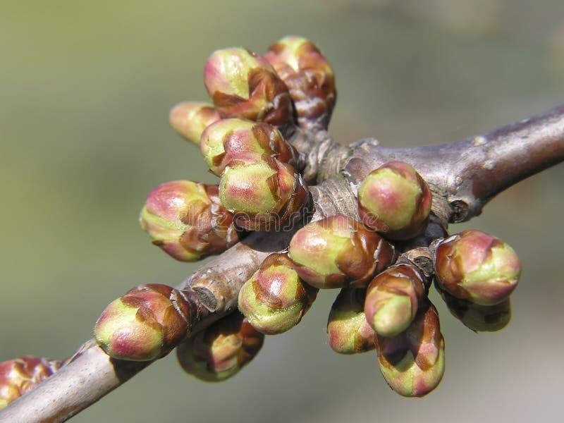 Spring buds stock image