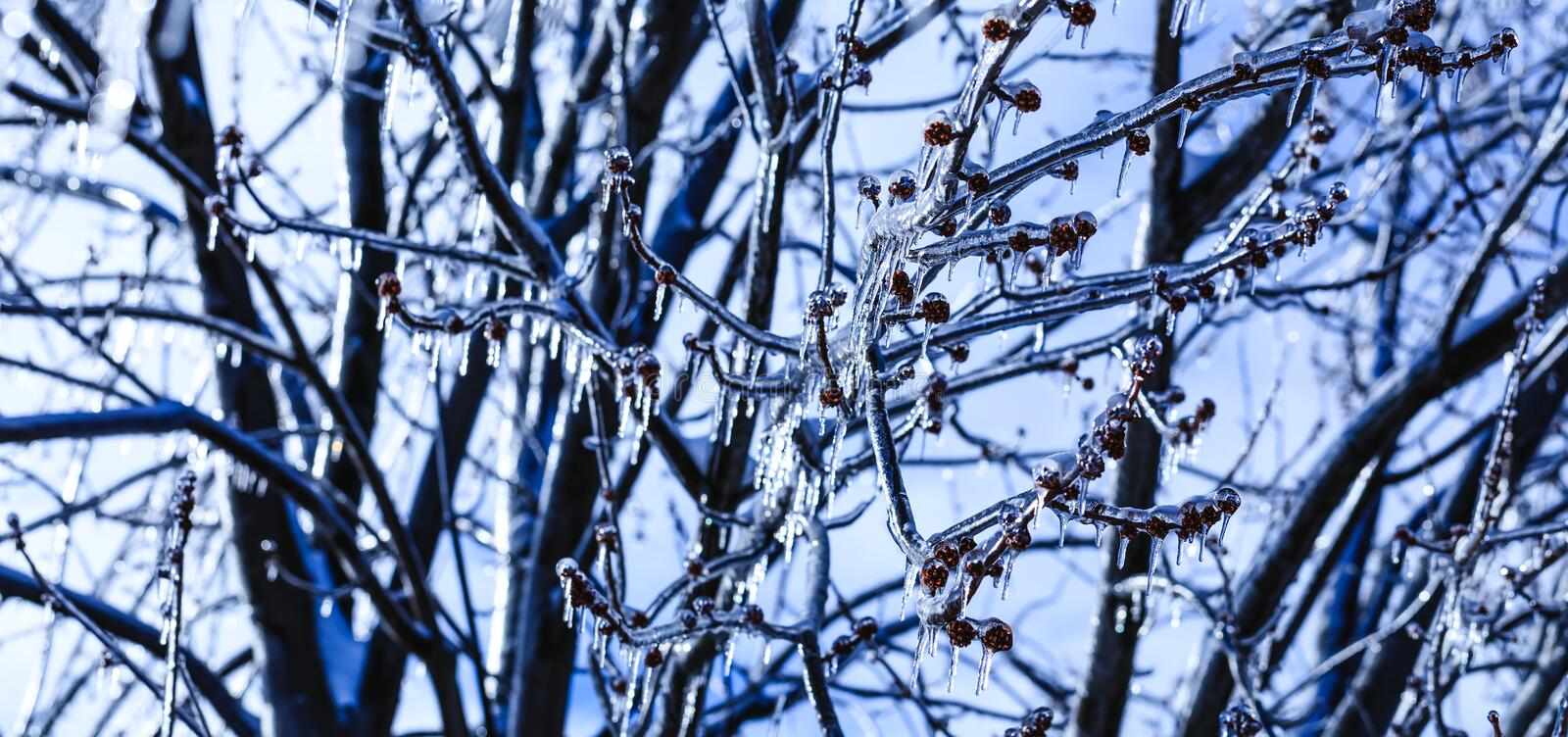 Spring buds with crystal icicles hanging from tree branches. Melting icicle and falling shiny drops over a bright frozen landscape royalty free stock images