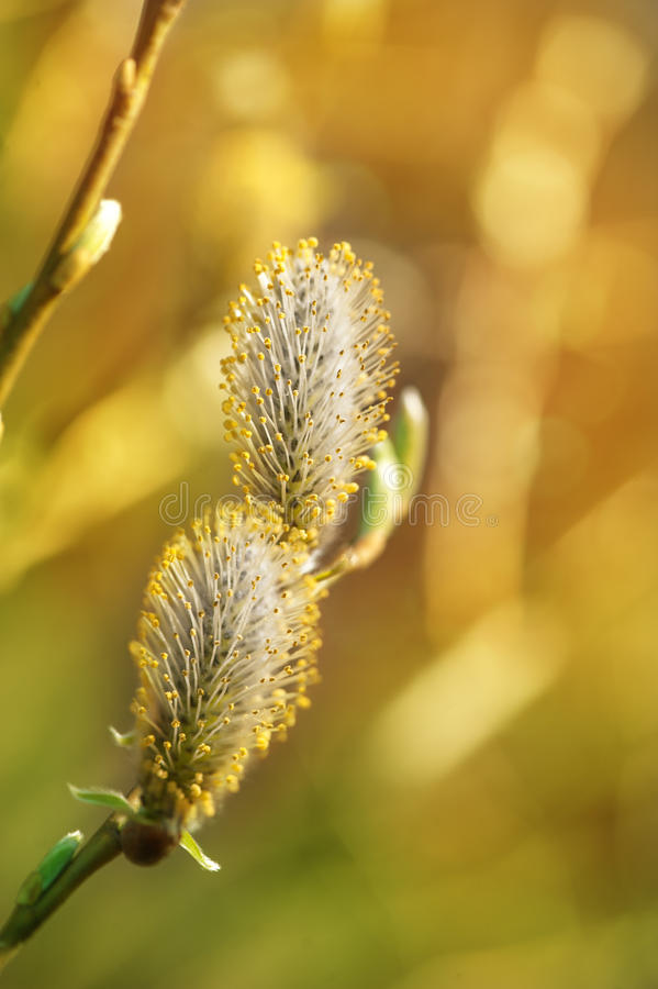Free Spring Buds Of Willow Catkins Royalty Free Stock Image - 40147966