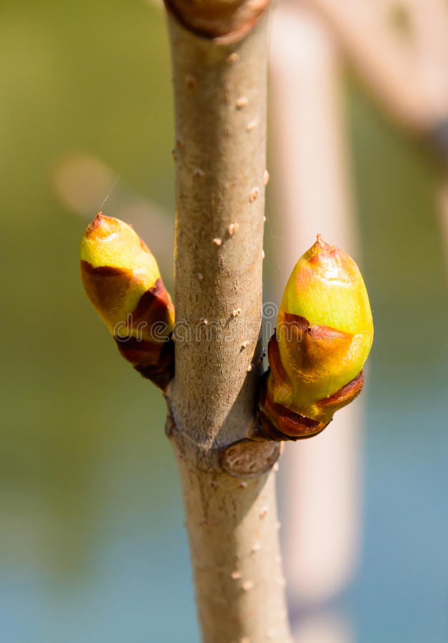 Spring buds on tree branch. Puffing tree at sunrise. Spring tree flowering royalty free stock photos