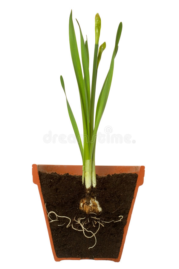Free Spring Bulb In A Pot Cross Section Royalty Free Stock Photography - 4866357