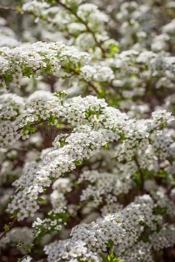 Spring bush beautiful little white flowers stock image image of download spring bush beautiful little white flowers stock image image of blooming bush mightylinksfo