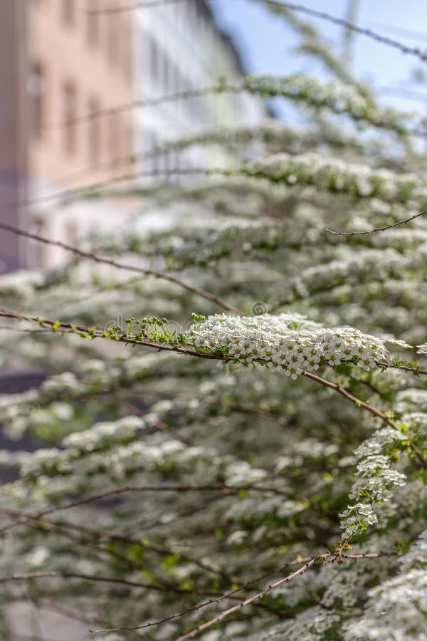 Spring bush. Beautiful little white flowers royalty free stock photos
