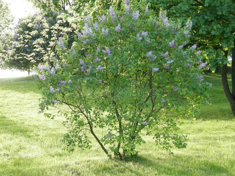 Spring bush of lilac in the in the park. Blossomed spring lilac bush in the park. Fragrant and curvy lilac flowers royalty free stock image