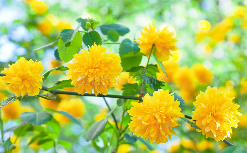 Spring Bush With Yellow Flowers Royalty Free Stock Photo