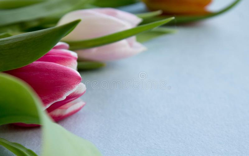Spring Tulip on purple background stock images