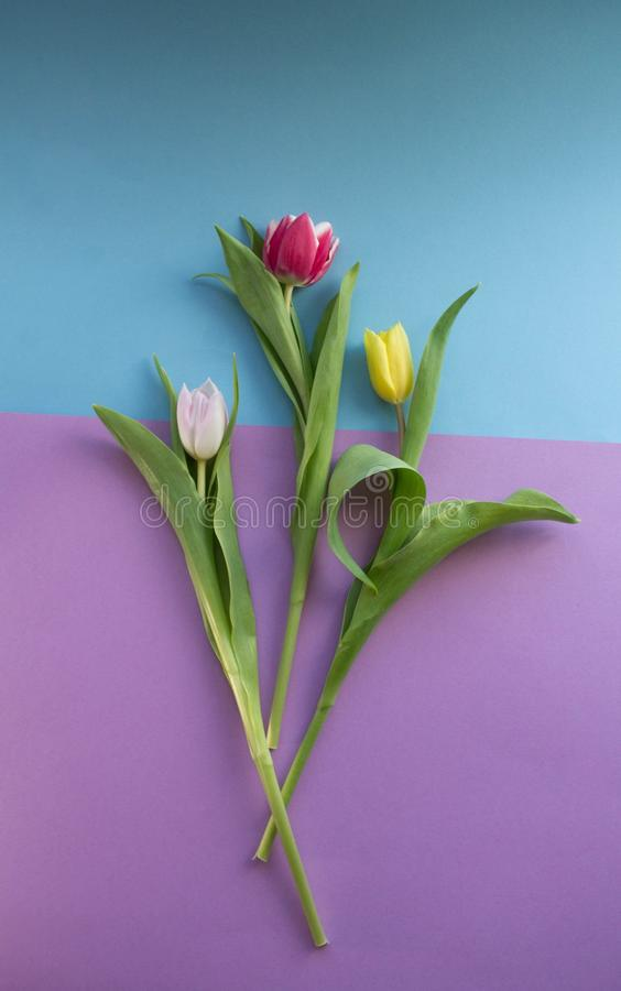 Spring Tulip on purple background royalty free stock images