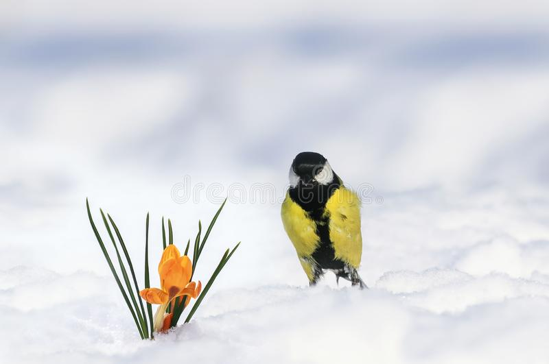 Spring card bird tit standing in the garden next to the first flowers snowdrops yellow crocuses stock images