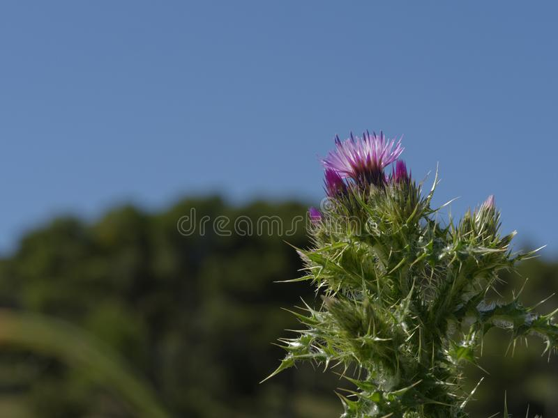 Spring Centaurea in the Aragonese Bardena. The most desired flora is the one with the most thorns stock photography
