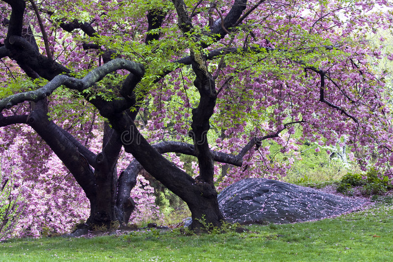 Spring in Central Park. New York city with Japanese cherry trees royalty free stock photography