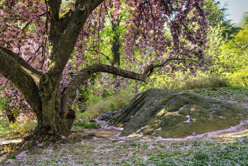 Spring in Central PArk. Prunus serrulata; Japanese Cherry Spring in Central Park, New York City stock images