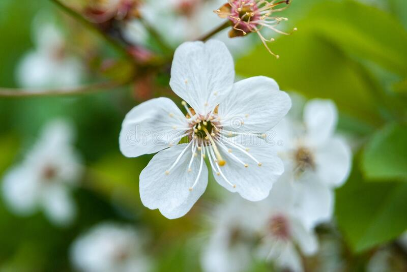 Spring cherry blossom. Spring background royalty free stock photography