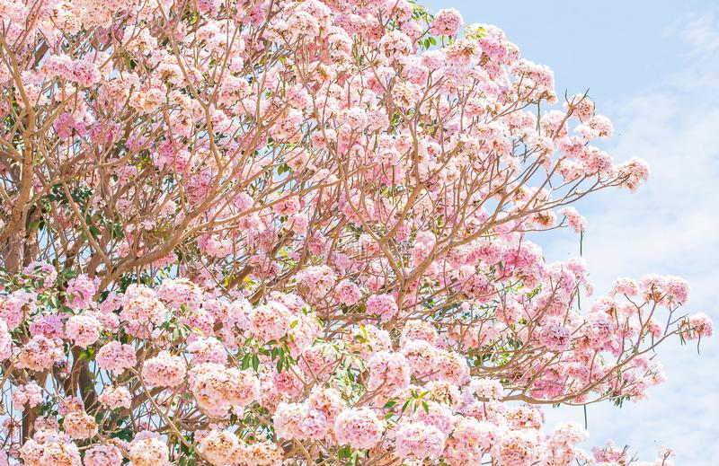 Spring cherry blossom. Blooming pink trumpet tree, light blue-sky background. Sweet pink flowers in full bloom royalty free stock photos