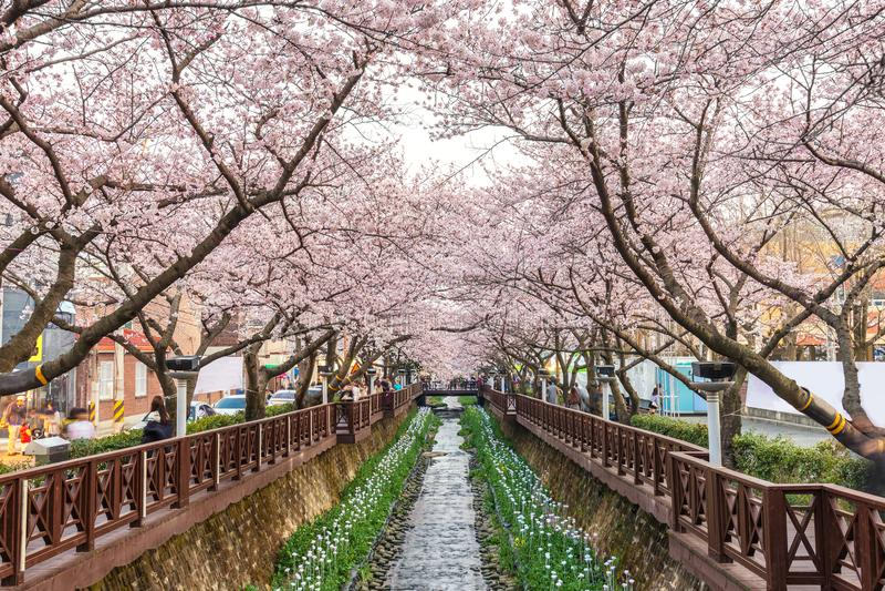 Spring Cherry blossom festival, Jinhae, South Korea royalty free stock image