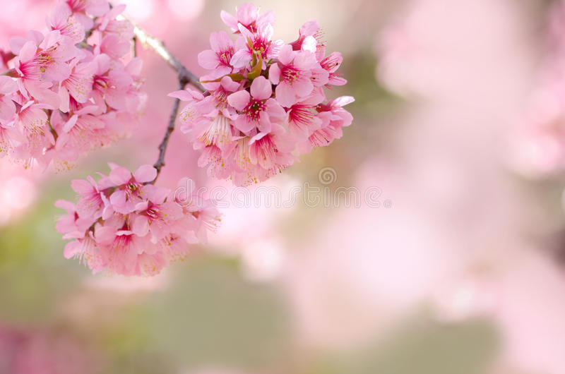 Spring cherry blossom pink flower for background usage.  stock photos