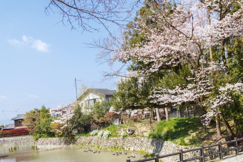Spring cherry blossom or sakura tree flower at park against blue sky near Japanese village house. Japan stock photography