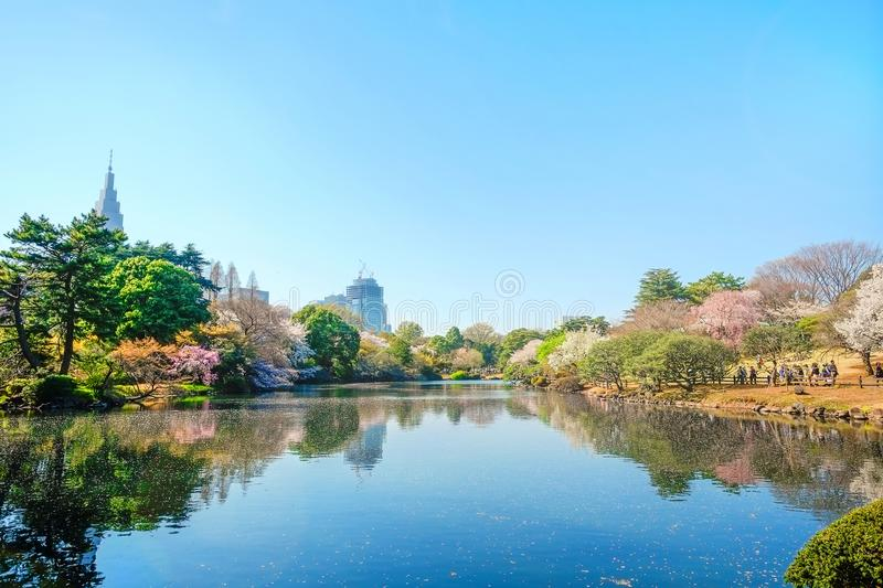 Spring cherry blossom season in Shinjuku Gyoen Park, Tokyo, Japan. Beautiful scenery with red leaf, green willow, blossom sakura, clear pond and bright vivid royalty free stock photos