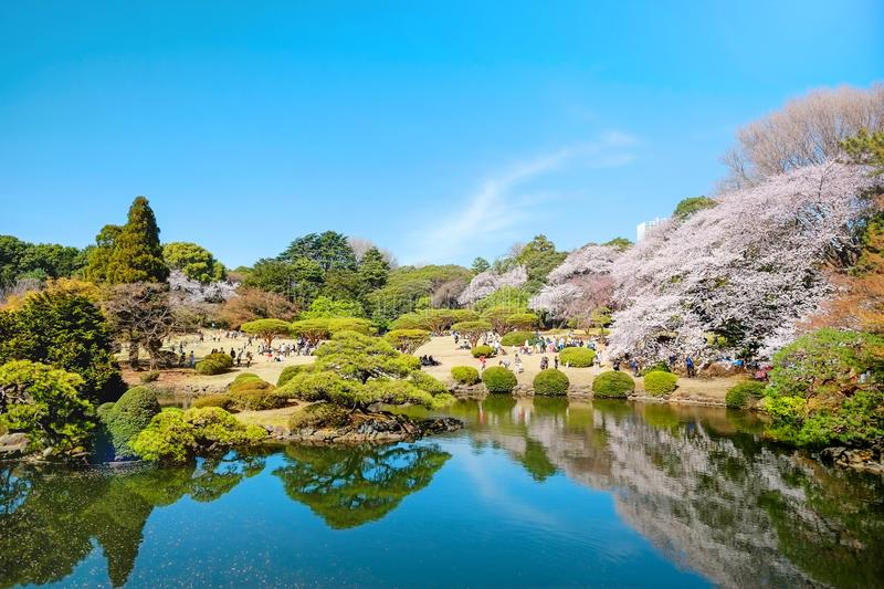 Spring cherry blossom season in Shinjuku Gyoen Park, Tokyo, Japan. Beautiful scenery with red leaf, green willow, blossom sakura, clear pond and bright vivid royalty free stock photography