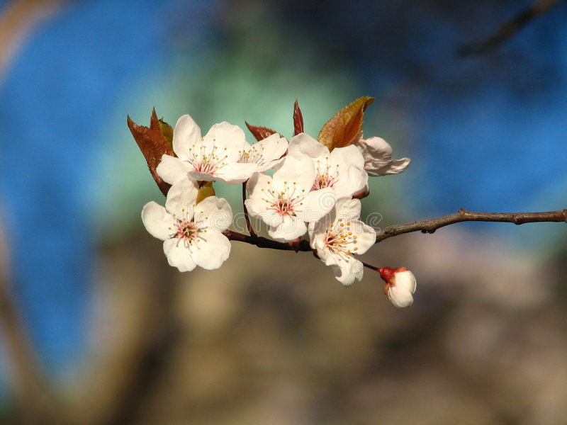 Spring cherry blossoms in Canada stock image