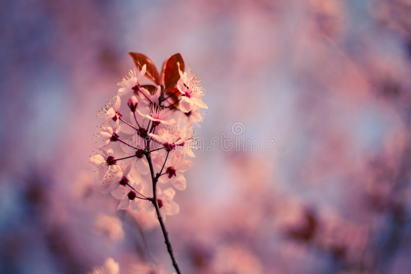 Spring Cherry blossoms, pink flowers. Beautiful cherry blossoms and bokeh background stock photo
