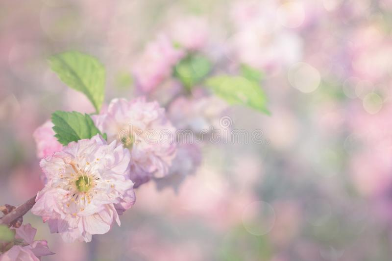 Spring Cherry blossoms, pink flowers on pastel bokeh background. Beautiful pink roses flower border on soft glitter background for stock image