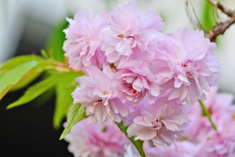 Spring Cherry blossoms, pink flowers royalty free stock photos