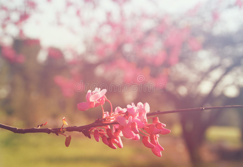 Spring Cherry blossoms tree at sunrise sun burst. abstract background. dreamy concept. image is retro filtered.  royalty free stock image