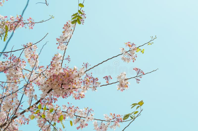 Spring cherry flowers branch tree on blue sky background.  stock photography