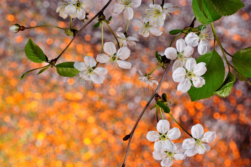 Spring cherry flowers on a bright natural rainbow background. Nature wakes up in spring from hibernation rejuvenated and filled stock photos