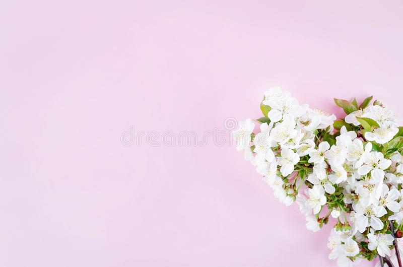 spring cherry flowers on light pink background stock images