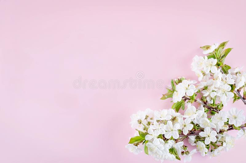 spring cherry flowers on light pink background royalty free stock photo