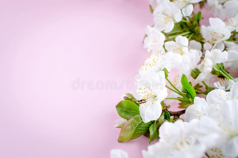 spring cherry flowers on light pink background stock photo