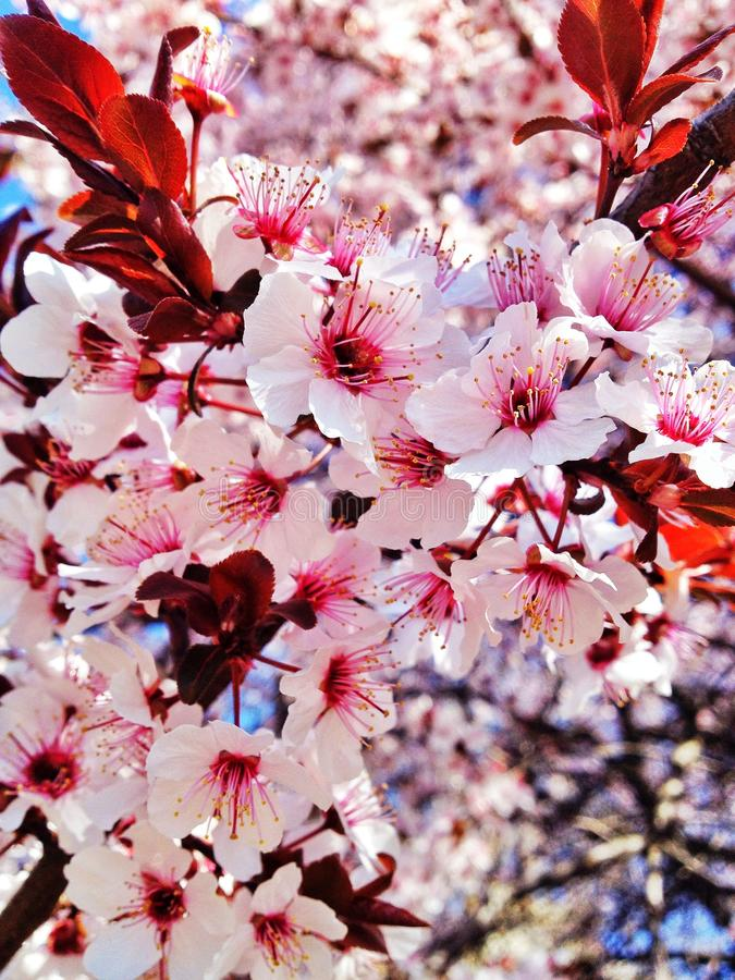 Spring cherry flowers. In pink bloom royalty free stock images