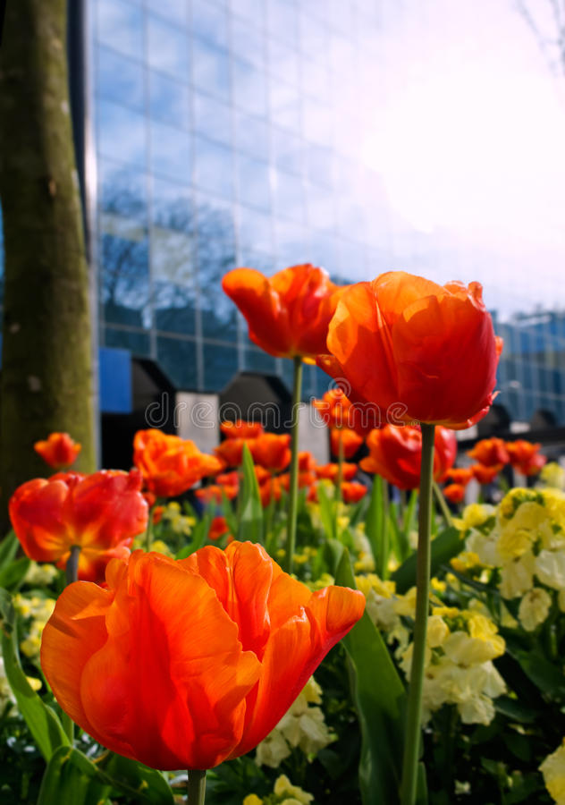 Spring in the City. Low angle bright red tulips signal the arrival of Spring in this City Street scene, with sun glare creating a fresh bright feeling stock image
