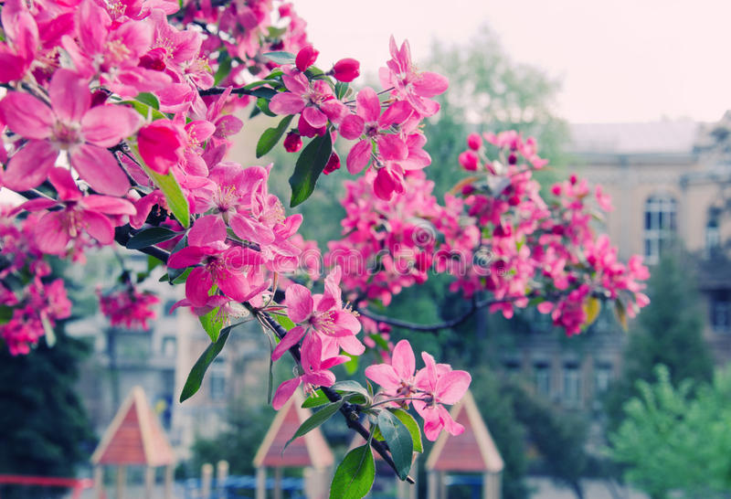 Spring in the city. (bright pink sakura flowers against the background of buildings, shallow DOF), retro style royalty free stock photography